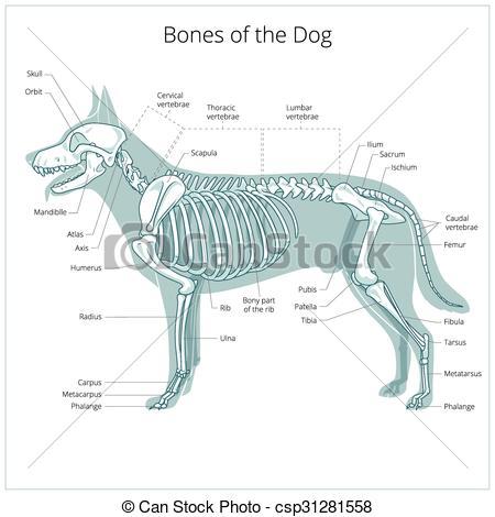 450x470 Dog Skeleton Veterinary Vector Illustration, Dog Osteology