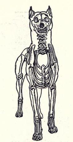 236x459 Dog Skeleton. Anatomy Of The Dog. 1932. Dogs Dog