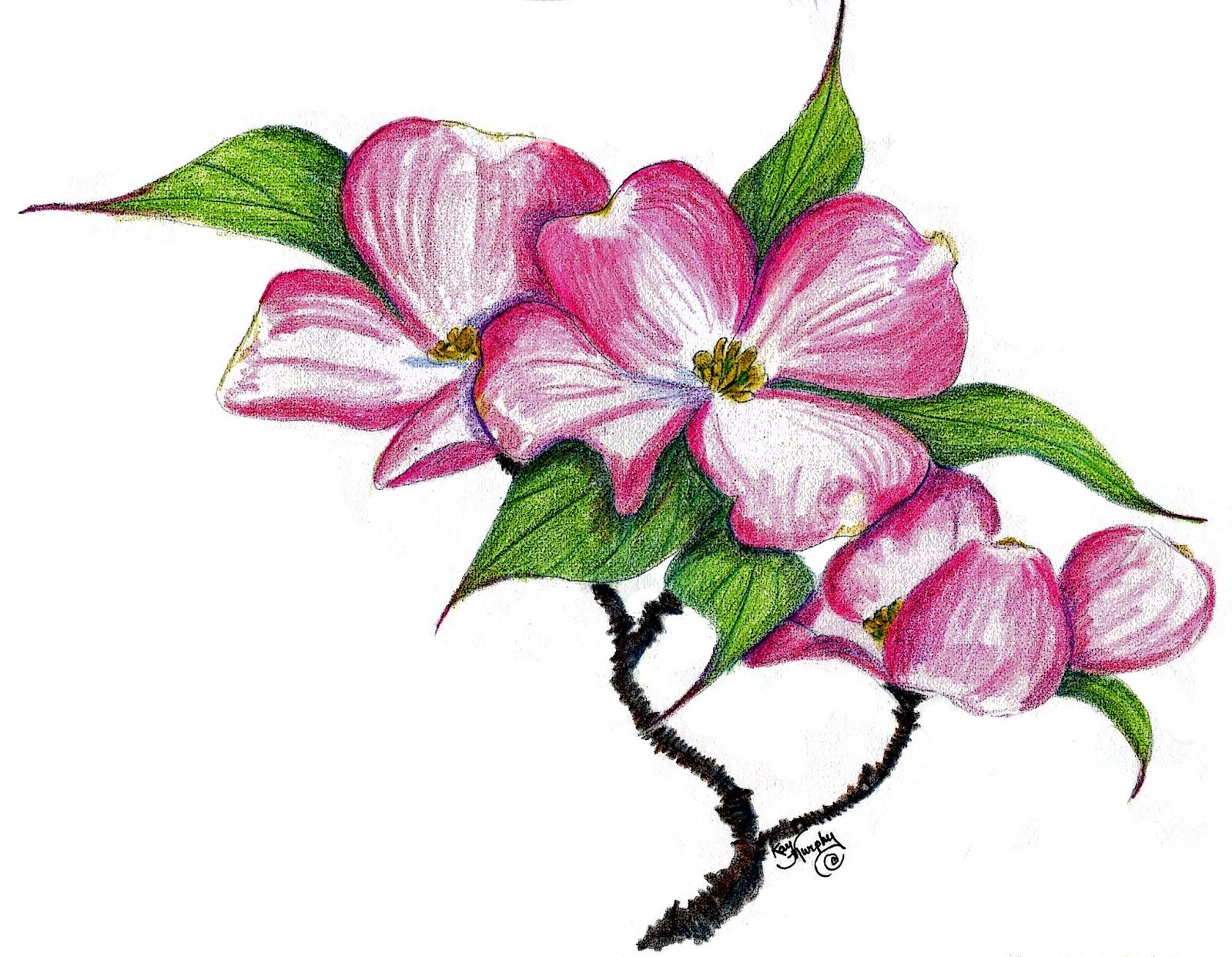 Dogwood Blossom Drawing At Getdrawings Free For Personal Use