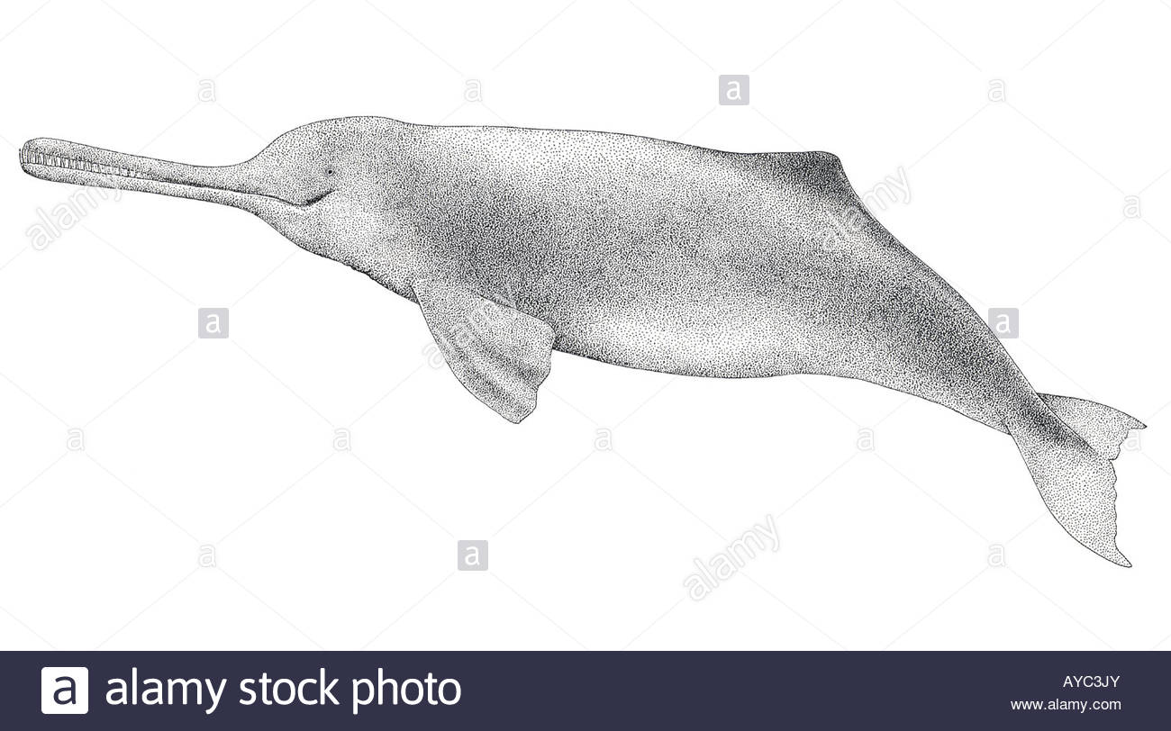 1300x812 Ganges River Dolphin (Platanista Gangetica), Drawing Stock Photo