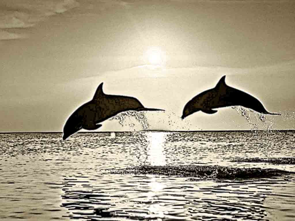 dolphin pencil drawing at getdrawings free download