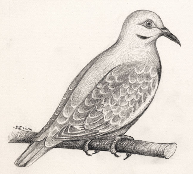 Dove Bird Drawing At Getdrawings Com Free For Personal Use Dove