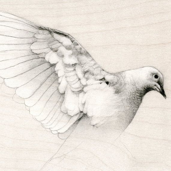 570x570 Collared Dove Drawings
