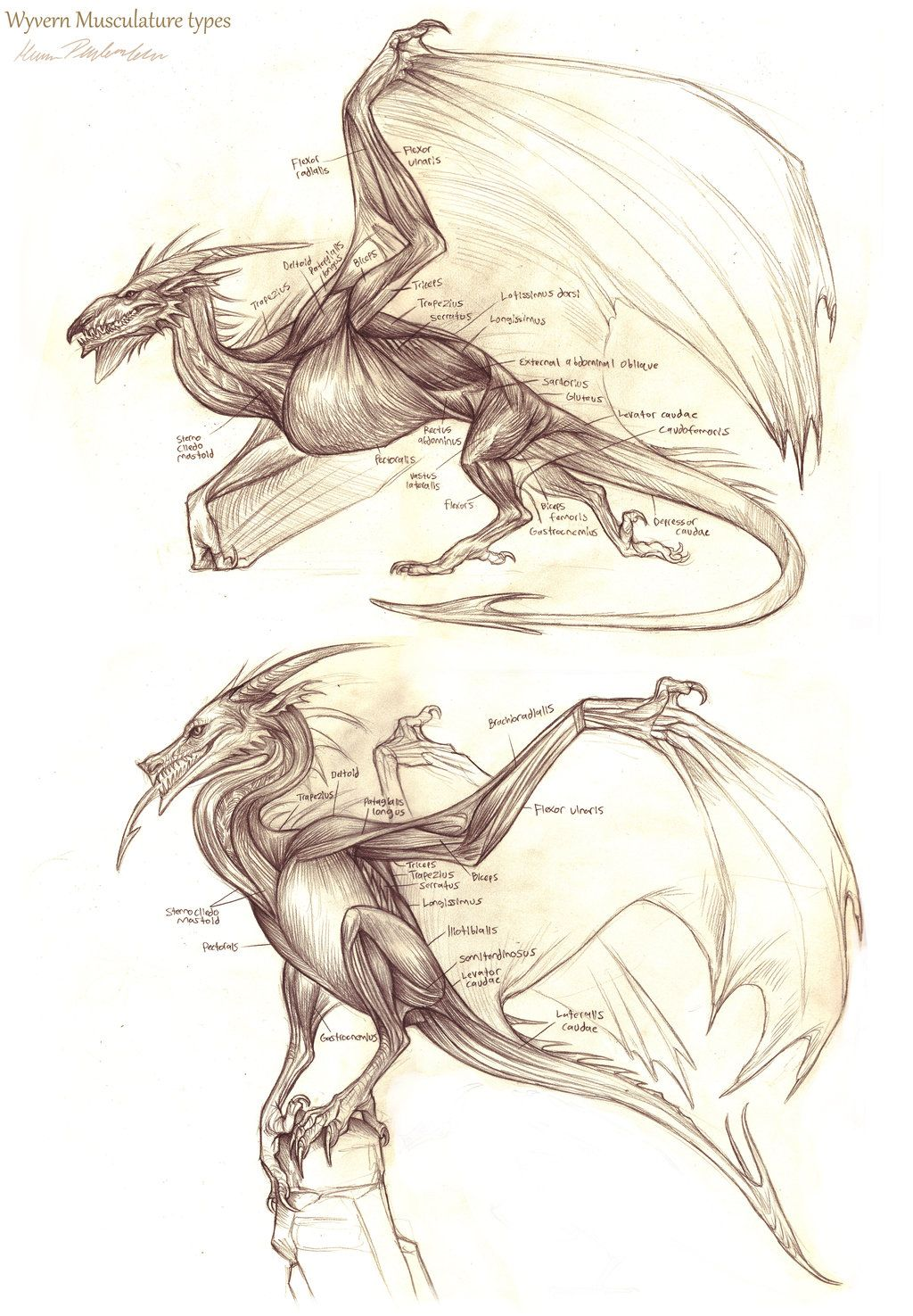 1024x1475 Wyvern Musculature By