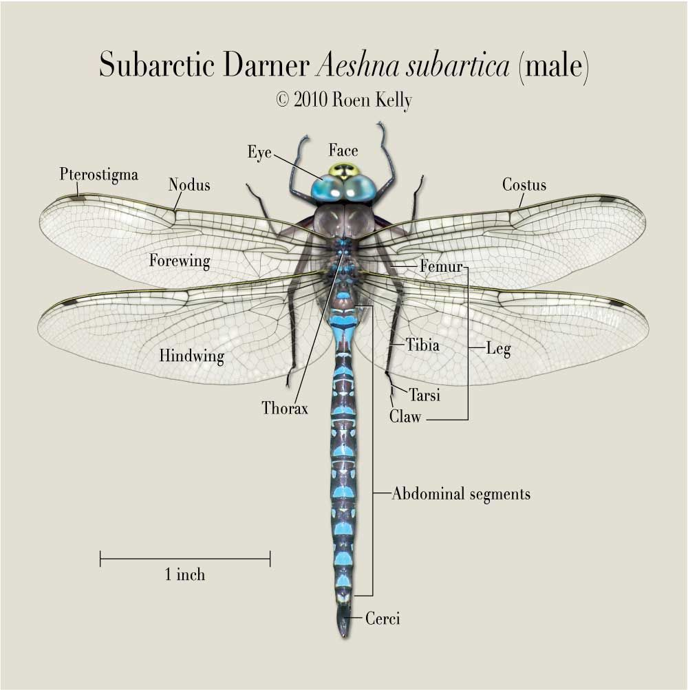 1000x1003 Another Fact Is That Adult Dragonflies Will Devour Just About