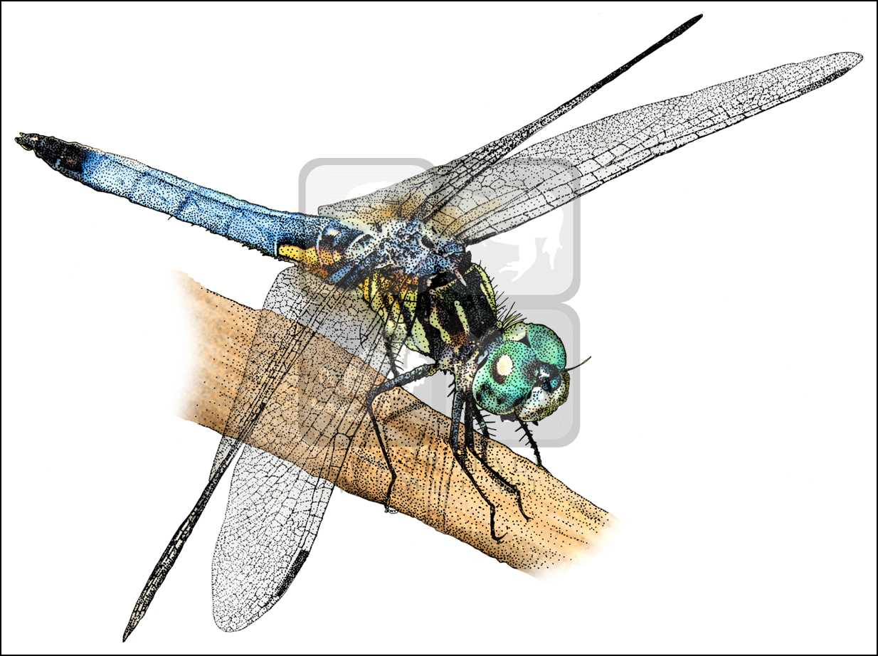 1234x922 Blue Dasher Dragonfly (Pachydiplax Longipennis) Line Art And Full