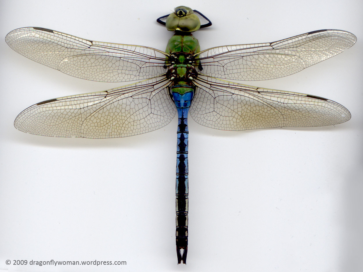 1250x938 Dragonflies And Damselflies What's The Difference (Adults