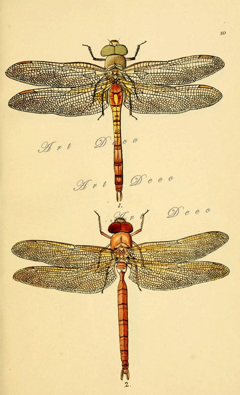 481x792 Dragonfly Scientific Drawing