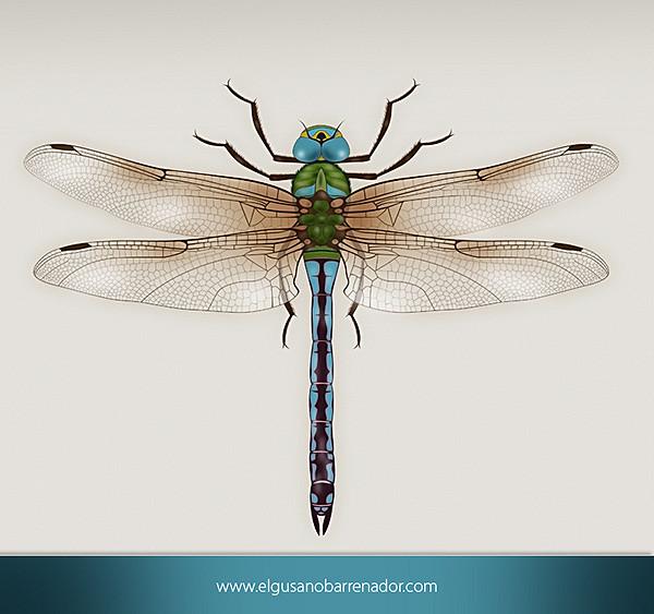 600x563 Dragonfly Scientific Illustration Dragonfly Draw By