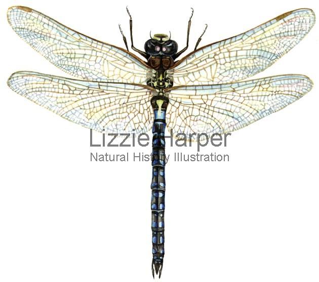 630x558 Migrant Hawker Dragonfly Lizzie Harper Illustration Botanical