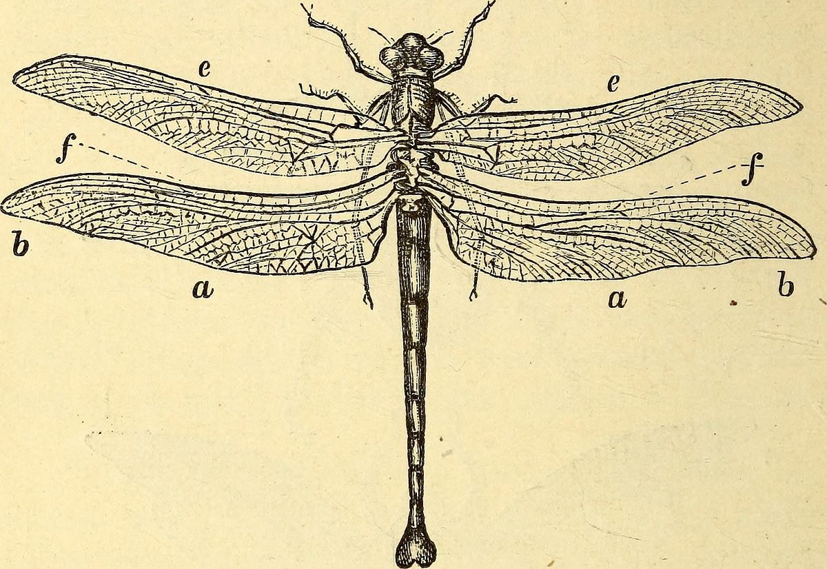 Dragonfly Scientific Drawing at GetDrawings.com | Free for personal ...