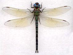 236x179 Pinned Dragonfly By Arboris Silvestre Tatts