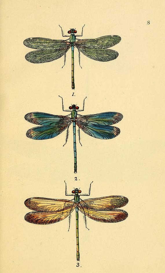570x939 Dragonfly Art Print An Antique Scientific Illustration