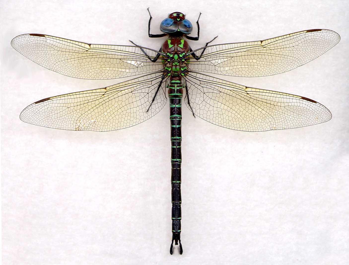 1406x1069 Epiaeschna Heros The Dragonfly Woman