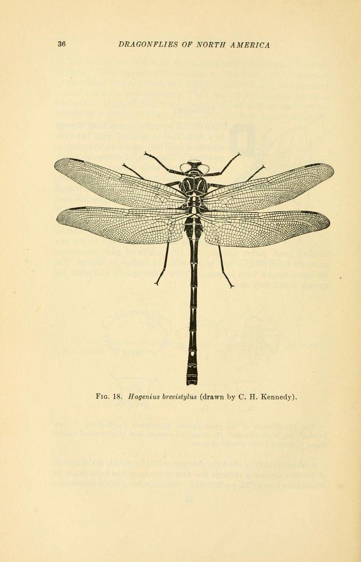 736x1146 Modernizor Hagenius Brevistylus C.h. Kennedy) Dragonfly
