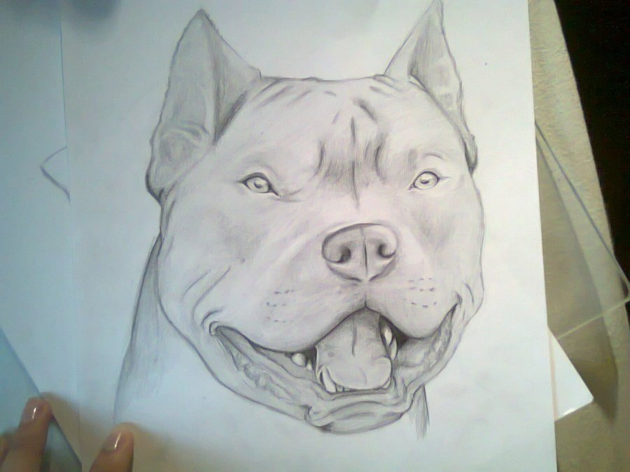 900x675 Evil Pitbull Drawings By Of Bully Pitbulls