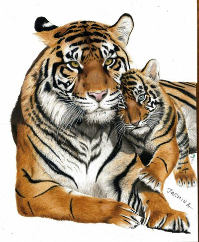 400x488 work in progress colored pencil drawing of tigers by jasminasusak