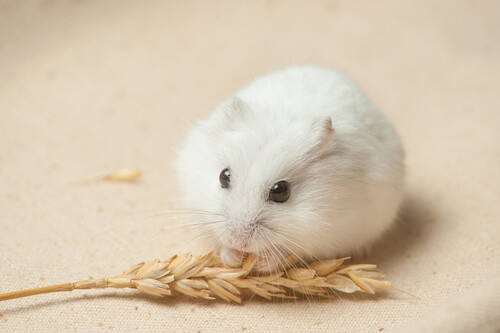 Dwarf Hamster Drawing at GetDrawings.com | Free for personal use ...