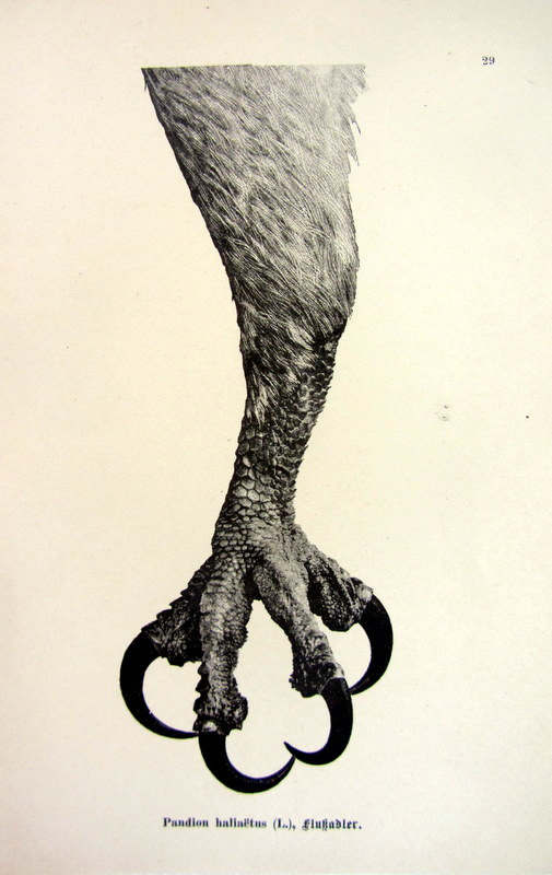 505x800 1903 Antique Sharp Claw Of Osprey Print By Lyranebulaprints