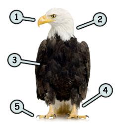 250x250 Drawing A Cartoon Eagle
