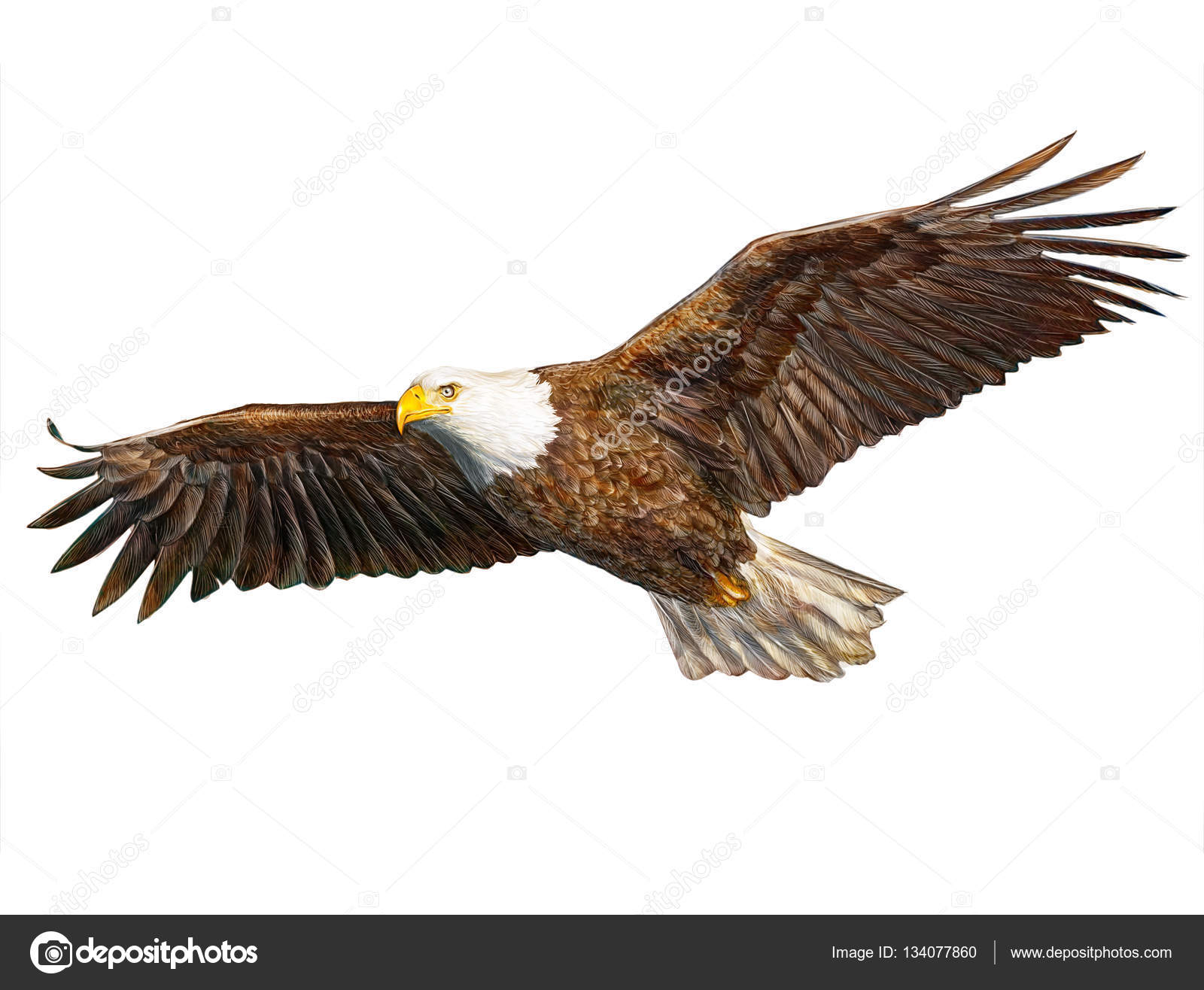 1600x1316 Bald Eagle Flying Hand Draw And Paint On White. Stock Photo