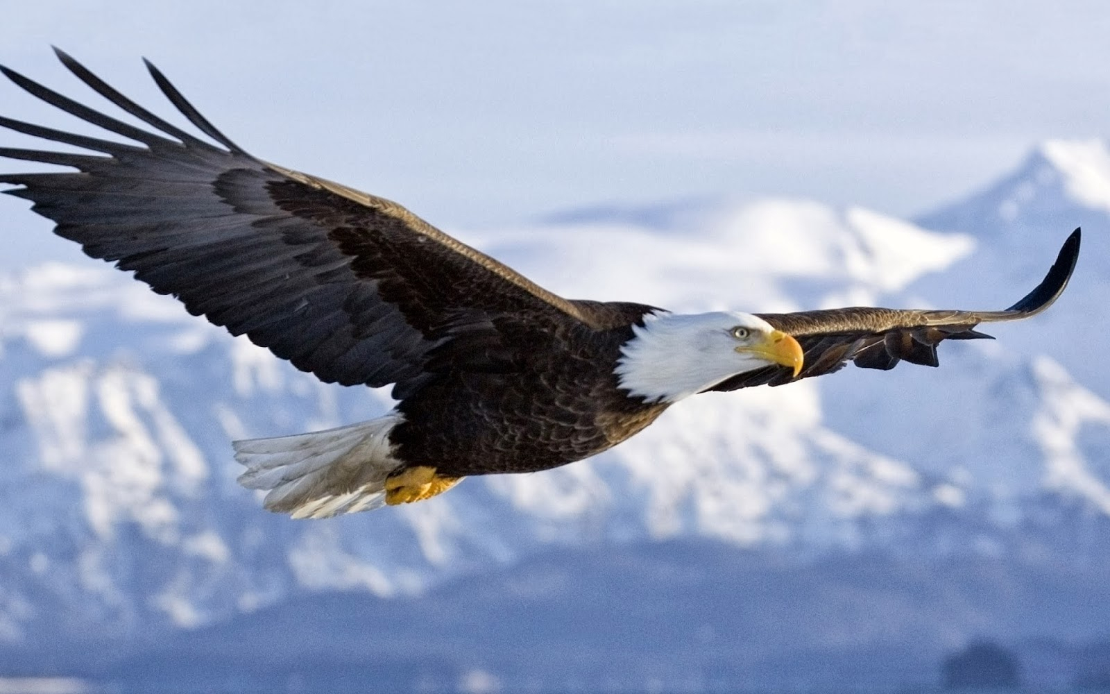 1600x1000 Drawing Of An Eagle Flying Golden Eagle Clipart Flight Drawing
