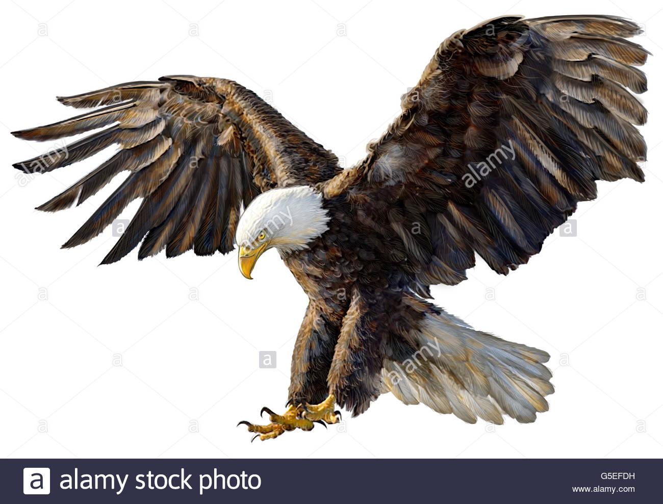 1300x988 Animal, Wildlife, Bird, Bale Eagle, American Eagle, Isolated Stock