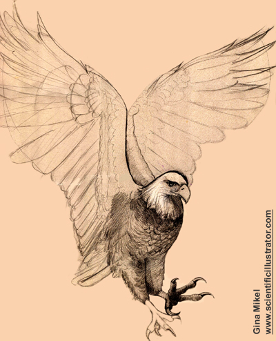 400x494 Bald Eagle Flying, Pencil Study, Gina Mikel Scientific