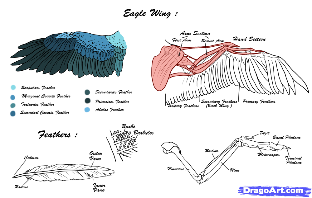 eagles wings drawing at getdrawings com free for personal use rh getdrawings com bald eagle food chain diagram bald eagle eye diagram
