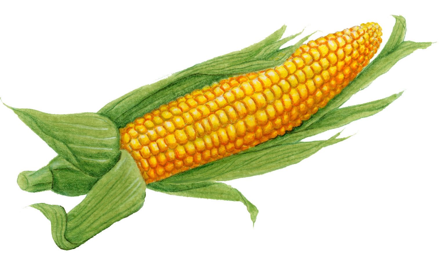 ear of corn drawing at getdrawings com free for personal use ear rh getdrawings com Cornucopia Clip Art ear of corn clipart free