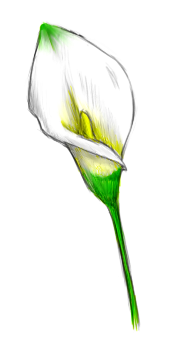 640x1152 Calla Lily With Color By Sengryu