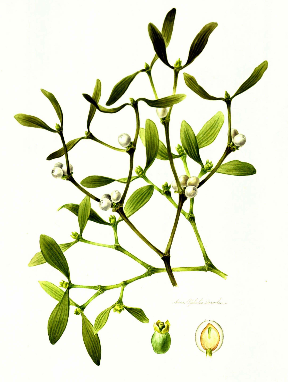2163x2869 Mistletoe Botanical Drawing Druid Dreams Mistletoe