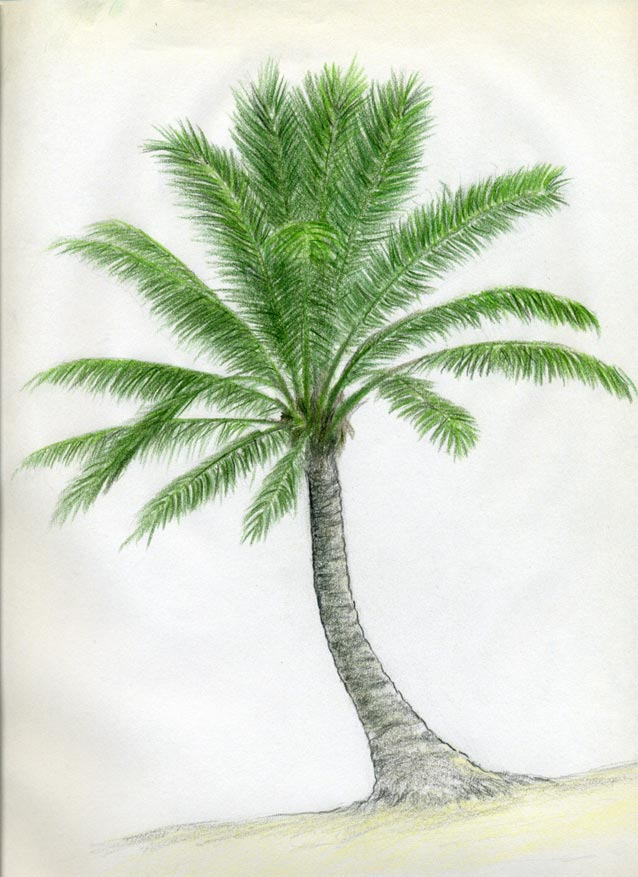 638x877 How To Draw Palm Trees