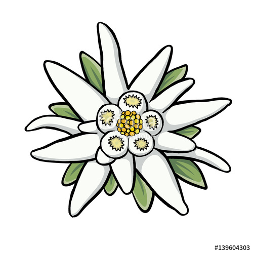 500x500 Edelweiss Stock Image And Royalty Free Vector Files