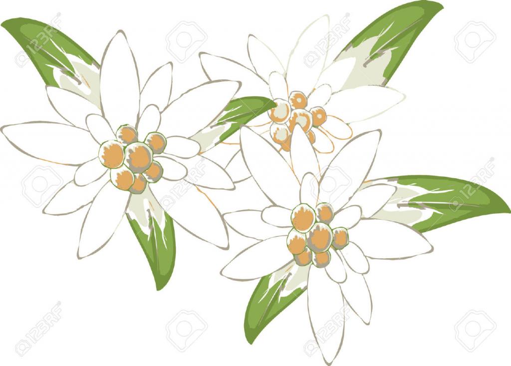 1024x733 Edelweiss Flower Drawing