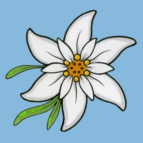 500x500 Gallery For Gt Edelweiss Flower Sketch German Stuff