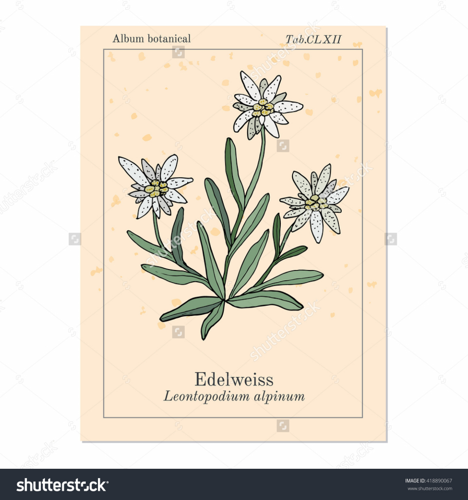 960x1024 How To Draw A Edelweiss Flower