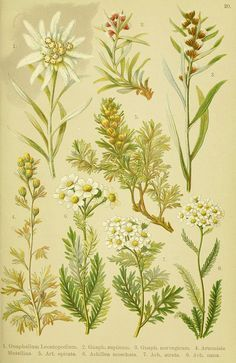 236x363 Edelweiss Botanical Drawing