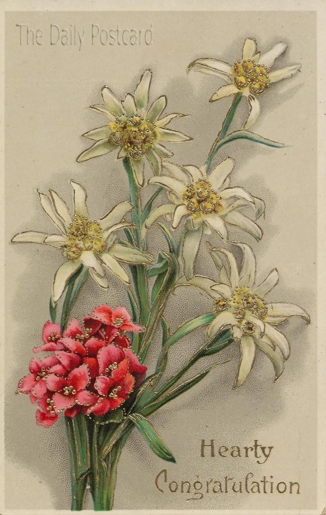 648x1024 Edelweiss Flower Drawing