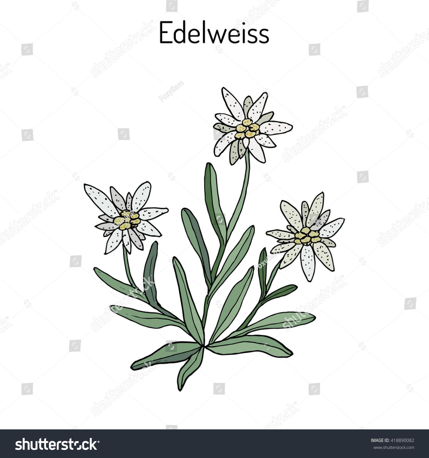 1500x1600 Edelweiss Flowers Drawing Edelweiss Leontopodium Alpinum Flower