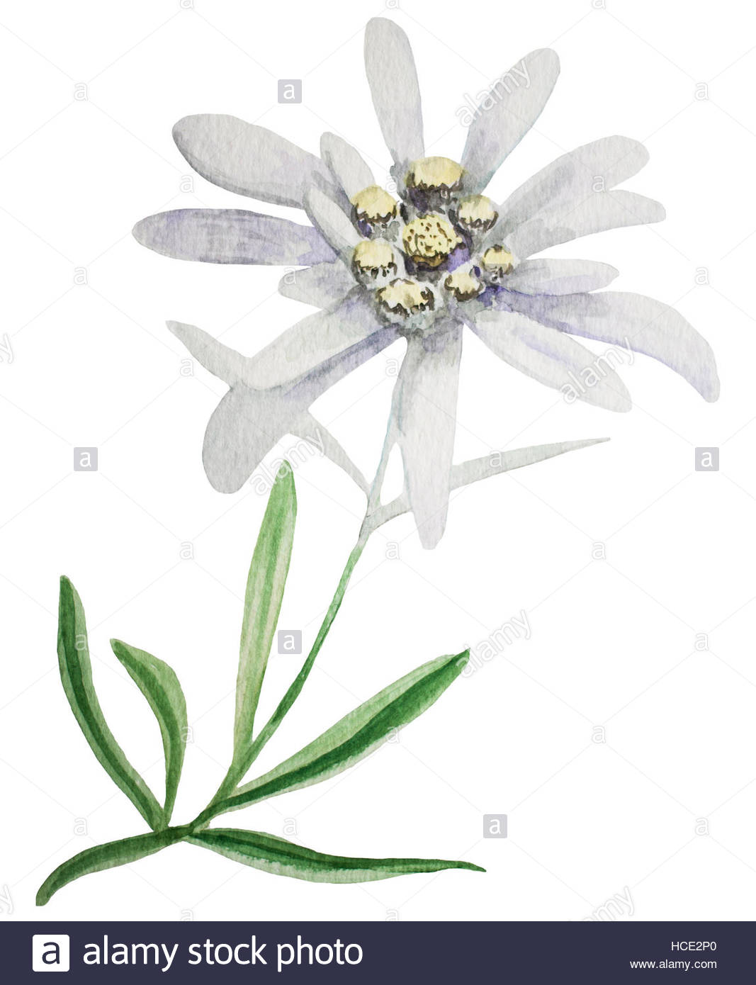 1067x1390 Edelweiss Flower. Handmade Watercolor Painting Illustration On