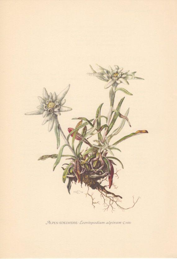 570x835 Edelweiss Illustration