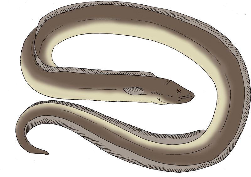 800x566 Frontiers Of Zoology Titanoconger, Real Super Eel And