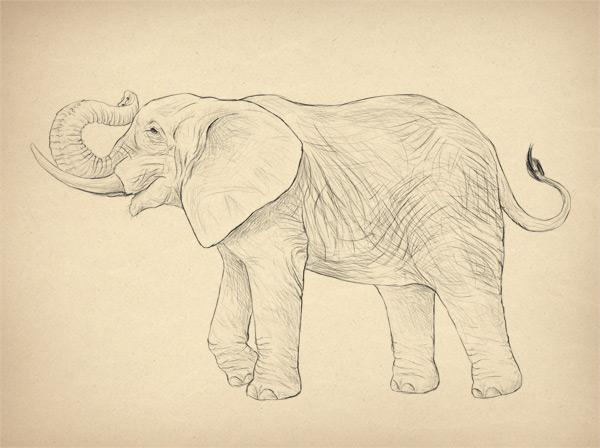 600x448 How to Draw Animals Elephants, Their Species and Anatomy