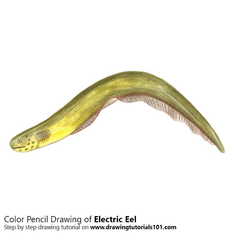 800x800 Electric Eel Colored Pencils