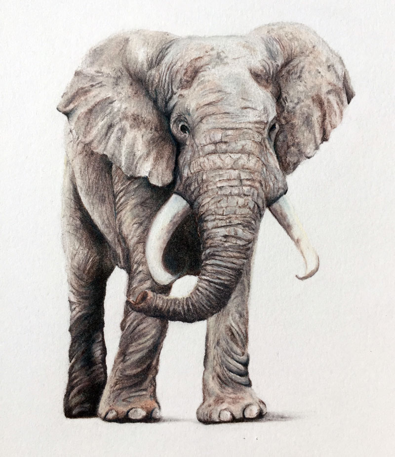 800x926 Draw An Elephant With Colored Pencils