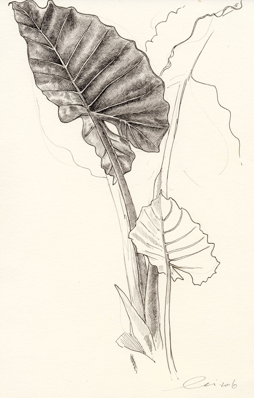 Elephant ears drawing at getdrawings free for personal use 864x1353 one hour drawings lily mae martin ccuart Images
