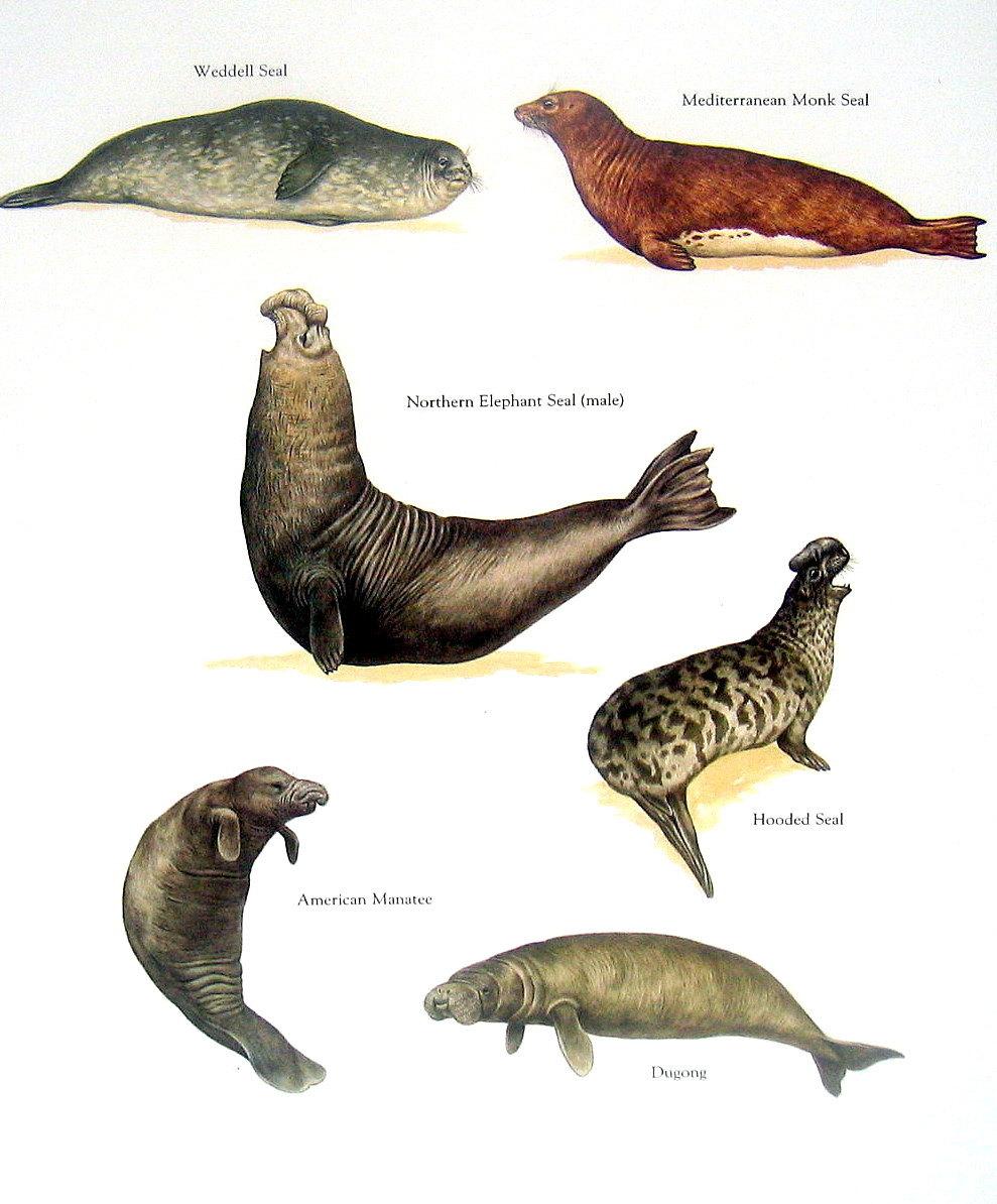 989x1194 Hooded Seal American Manatee Dugong Northern Elephant Seal