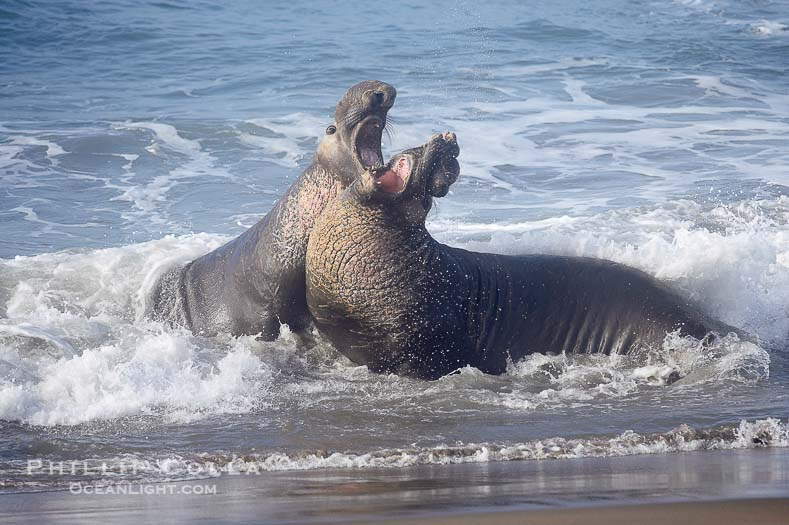 789x525 Piedras Blancas Elephant Seals Natural History Photography Blog