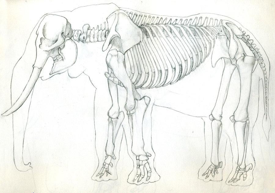 900x632 African Elephant Skeleton By Unamedking